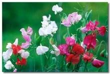 香豌豆花语图片