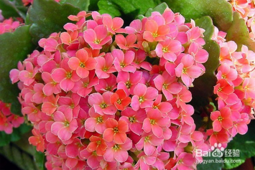 长寿花的剪枝方法图片图片