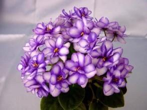 紫罗兰花语是什么意思图片