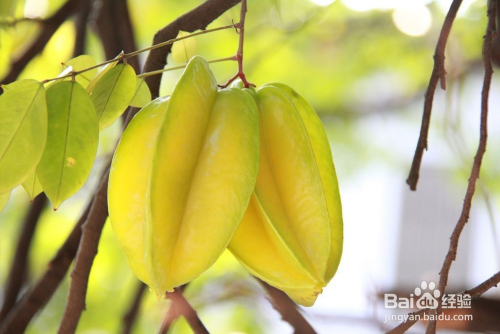 杨桃种子怎么发芽图片