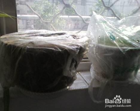 康乃馨种子图片