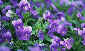 紫罗兰叶子药用价值图片