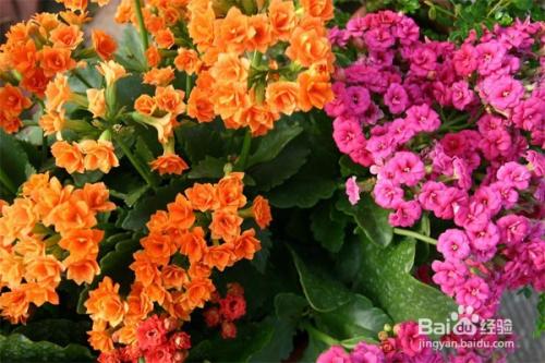 长寿花图片及养殖方法图片