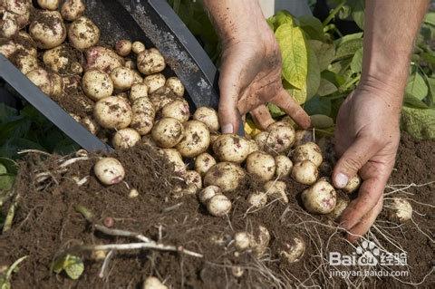 在家如何种土豆