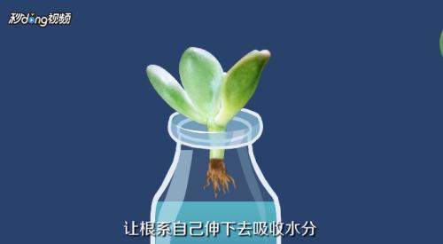 多肉植物水培图片欣赏图片