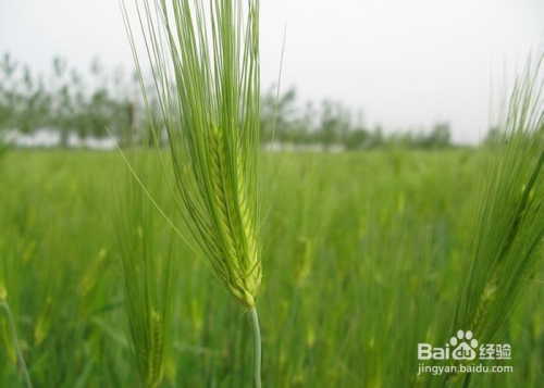 大麦是什么样子的图片大全图片