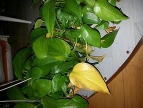 绿萝叶子黄了从哪剪掉图片