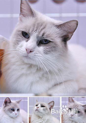 暹罗猫多大可以驱虫图片