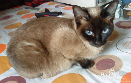 暹罗猫市场价图片