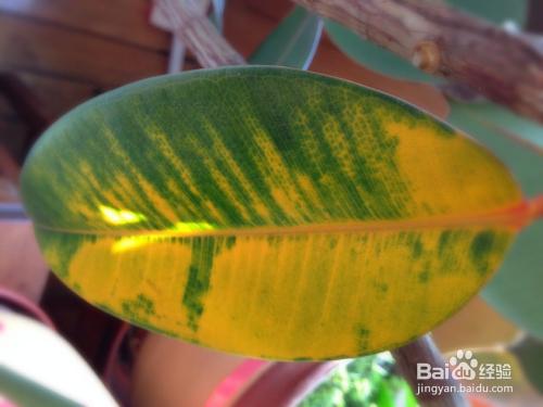 绿植的叶子黄了怎么办图片