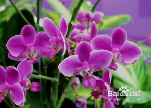 蝴蝶兰常见虫害图片