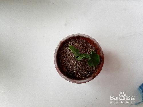 旱金莲的种植方法图片