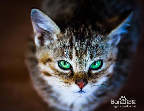 喜马拉雅猫多少钱一只图片