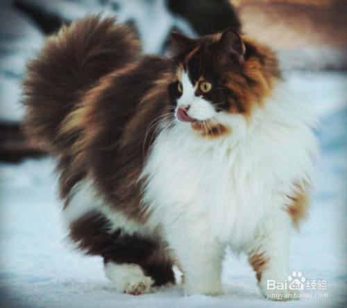 挪威森林猫颜色图片
