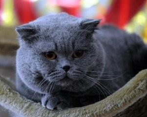 如何挑选英国短毛猫图片