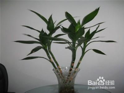 水培观音竹叶子发黄怎么办图片