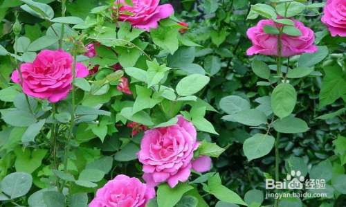 月季花的栽培方法图片