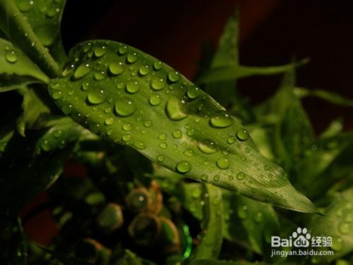 水养水竹叶子发黄怎么回事图片