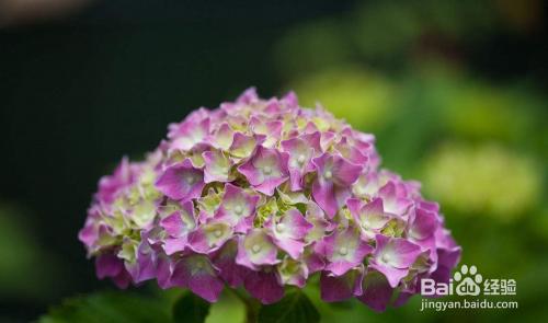 美人樱种子图片