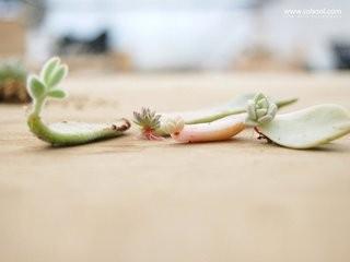 多肉叶插出根后多久出芽图片