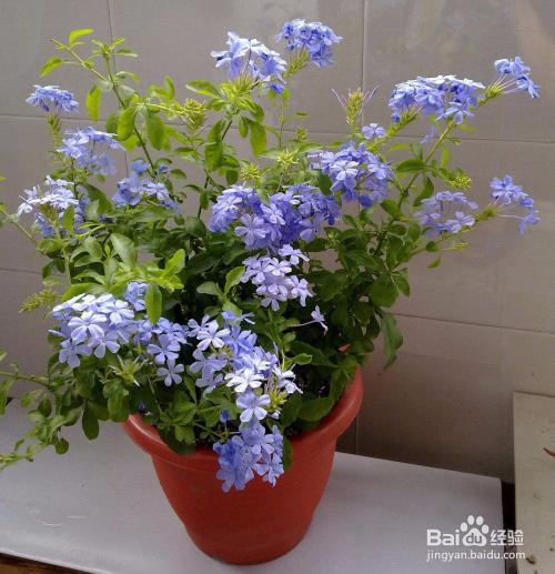 花盆养什么花图片