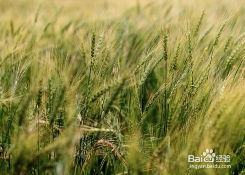大麦是什么样的图片