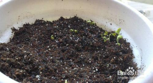 康乃馨种子发芽后移栽图片