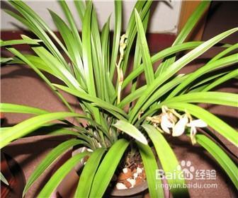 白兰花的养殖方法和注意事项图片