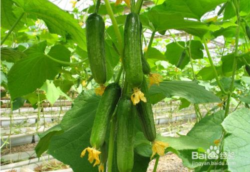 晚上吃黄瓜能减肥吗图片