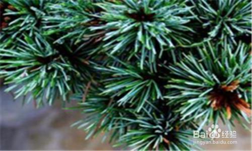 五针松盆景养护管理全过程图片
