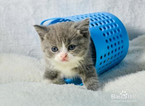 美国短毛猫多少钱一只图片