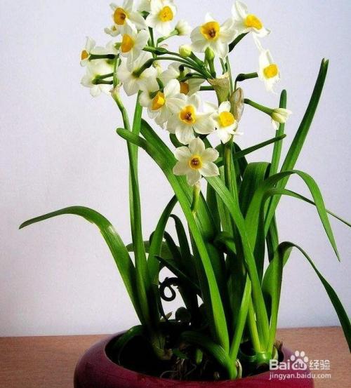 水仙花的栽培方法图片