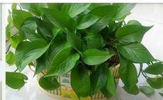 植物绿萝的功效和作用图片