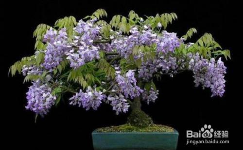 紫藤盆景养护技术图片