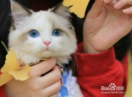 暹罗猫的区别图片