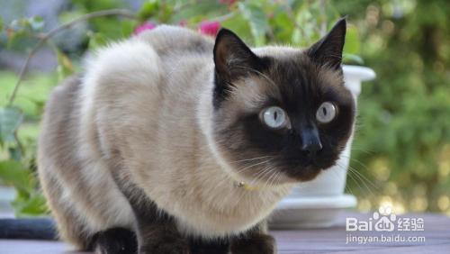暹罗猫为什么越来越黑图片