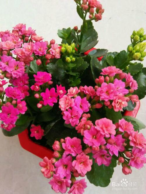 长寿花有几种颜色图片