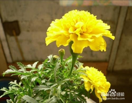 红康乃馨花语图片