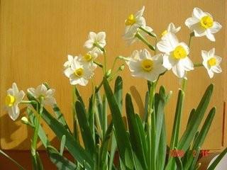 无土栽培的植物水仙花图片