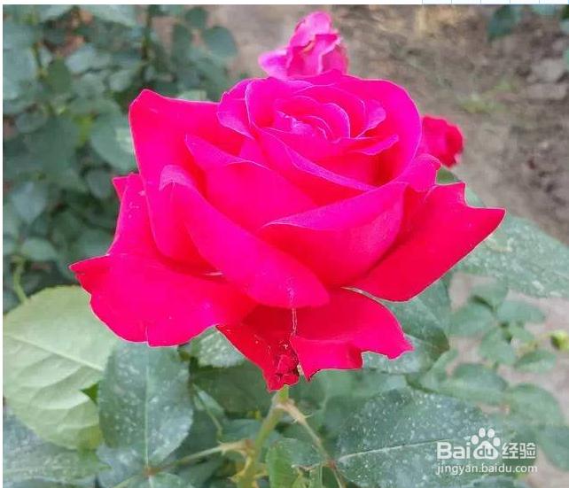 如何用PS给颜色溢出严重的红色月季花校...