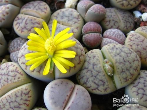 多肉植物生石花徒长图片
