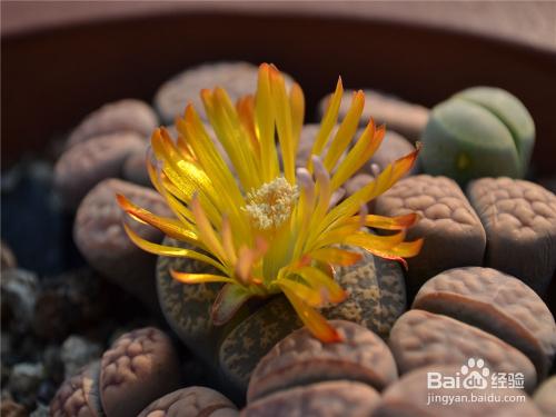 多肉植物生石花图鉴图片