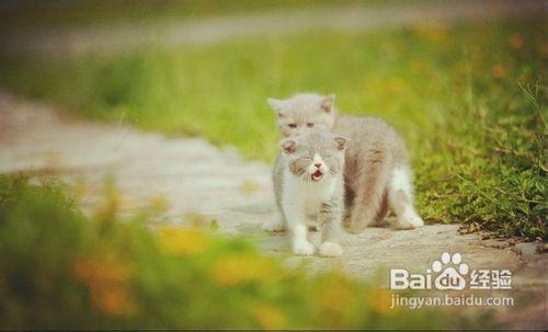 英国短毛猫银渐层图片