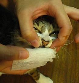 猫咪牙结石严重图片