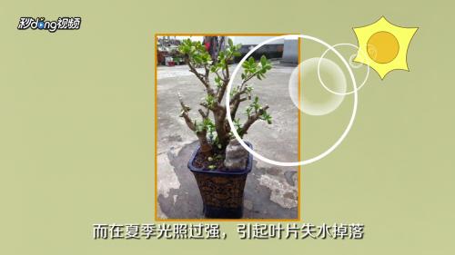 榆树盆景黄叶怎么处理图片