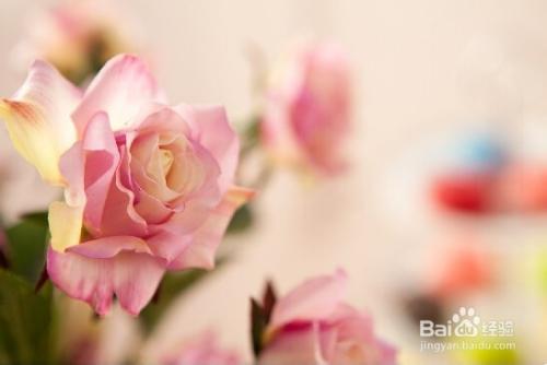 玫瑰花主要病害图片