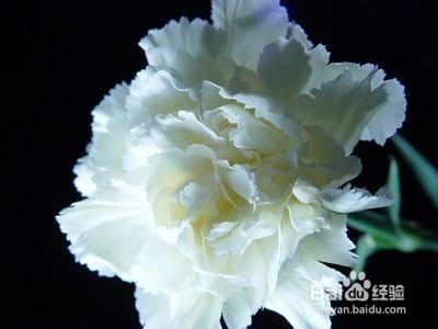 黄康乃馨花的花语是什么图片