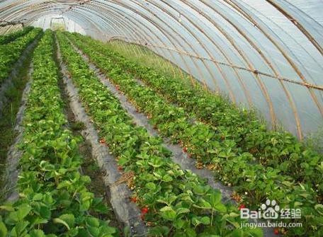 蔬菜大棚地膜挑选知识