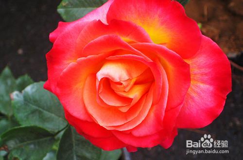 月季玫瑰花的养殖方法和注意事项图片