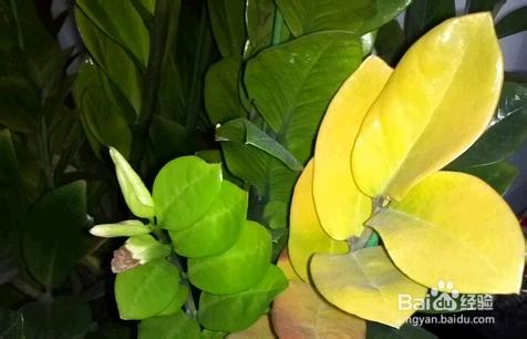金钱树叶子发黄怎么办理怎么补救图片